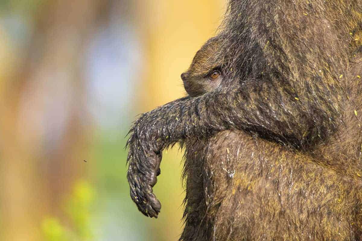 Fotoreis Tanzania - Aapje bij moeder