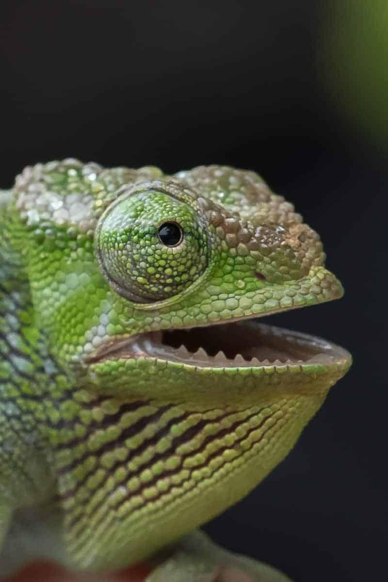 Fotoreis Tanzania - Kameleon staat met zijn mond open