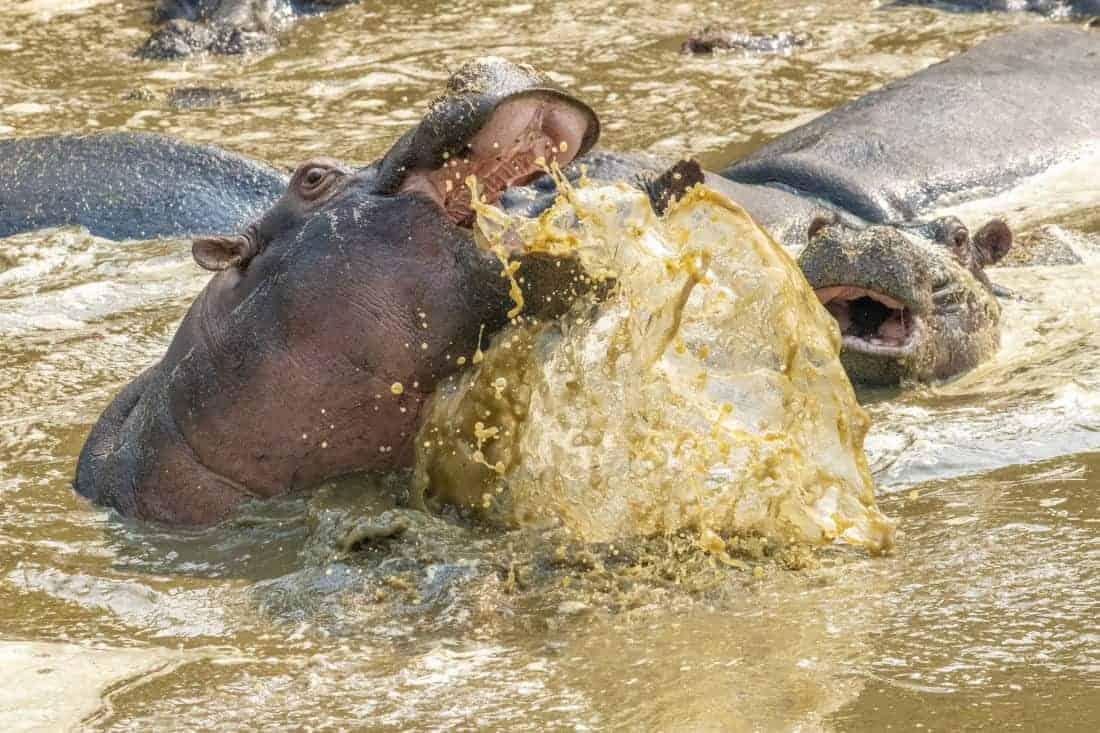Vechtende nijlpaarden op de fotoreis Tanzania