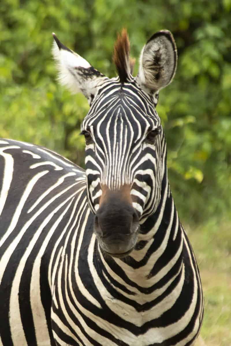 Zebra tijdens fotoreis Tanzania