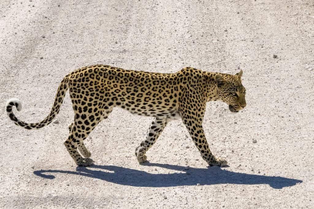 Fotoreizen Afrika Overstekend luipaard