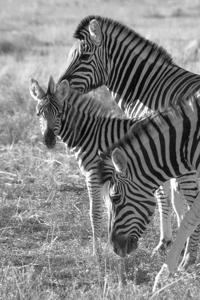 Fotoreizen Afrika zebra