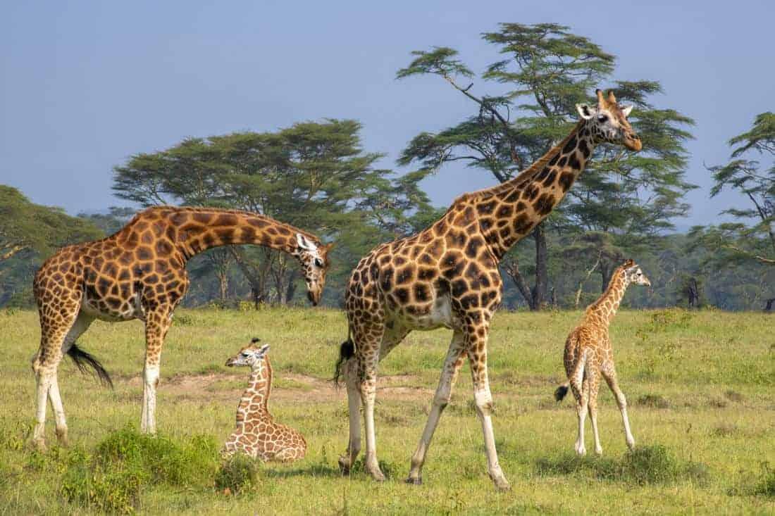 Fotoreizen Kenia Tanzania Lake Nakuru Rothschildgiraffe