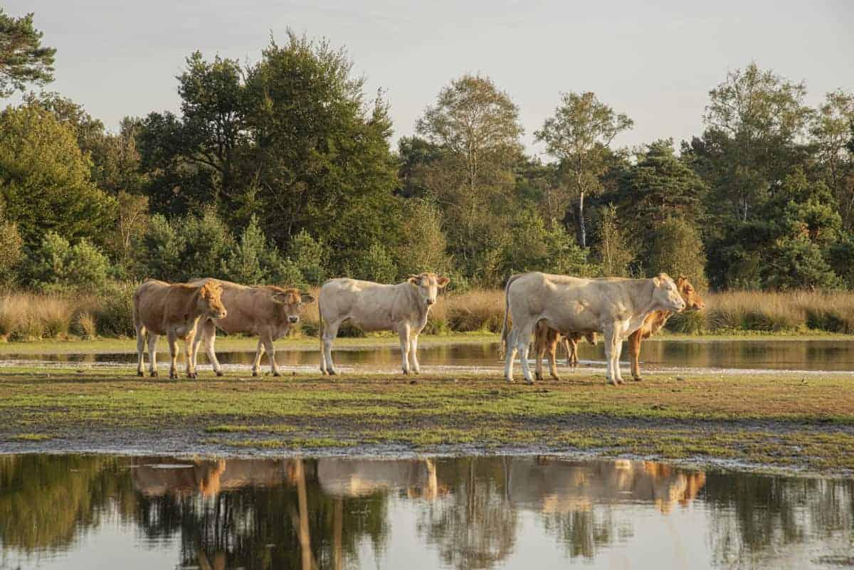 Fotoweekend Brabant koeien