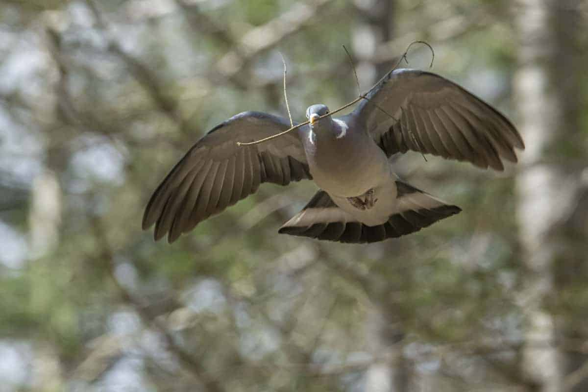 Duif bouwt nest in het wandelbos Tilburg