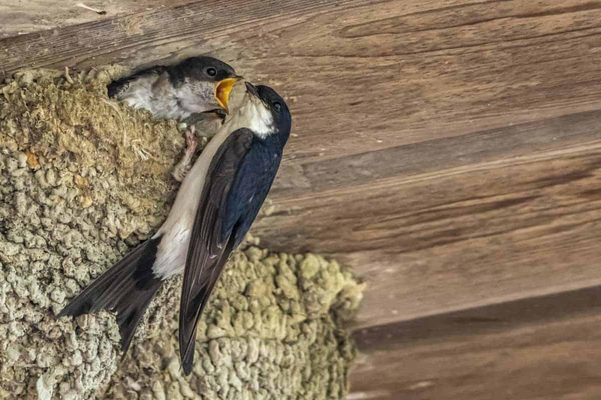 Zwaluwen worden gevoerd Fotoreizen Nederland