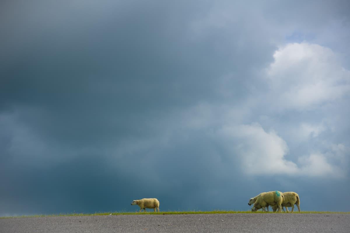 Schapen op de dijk Fotoweekend Nederland
