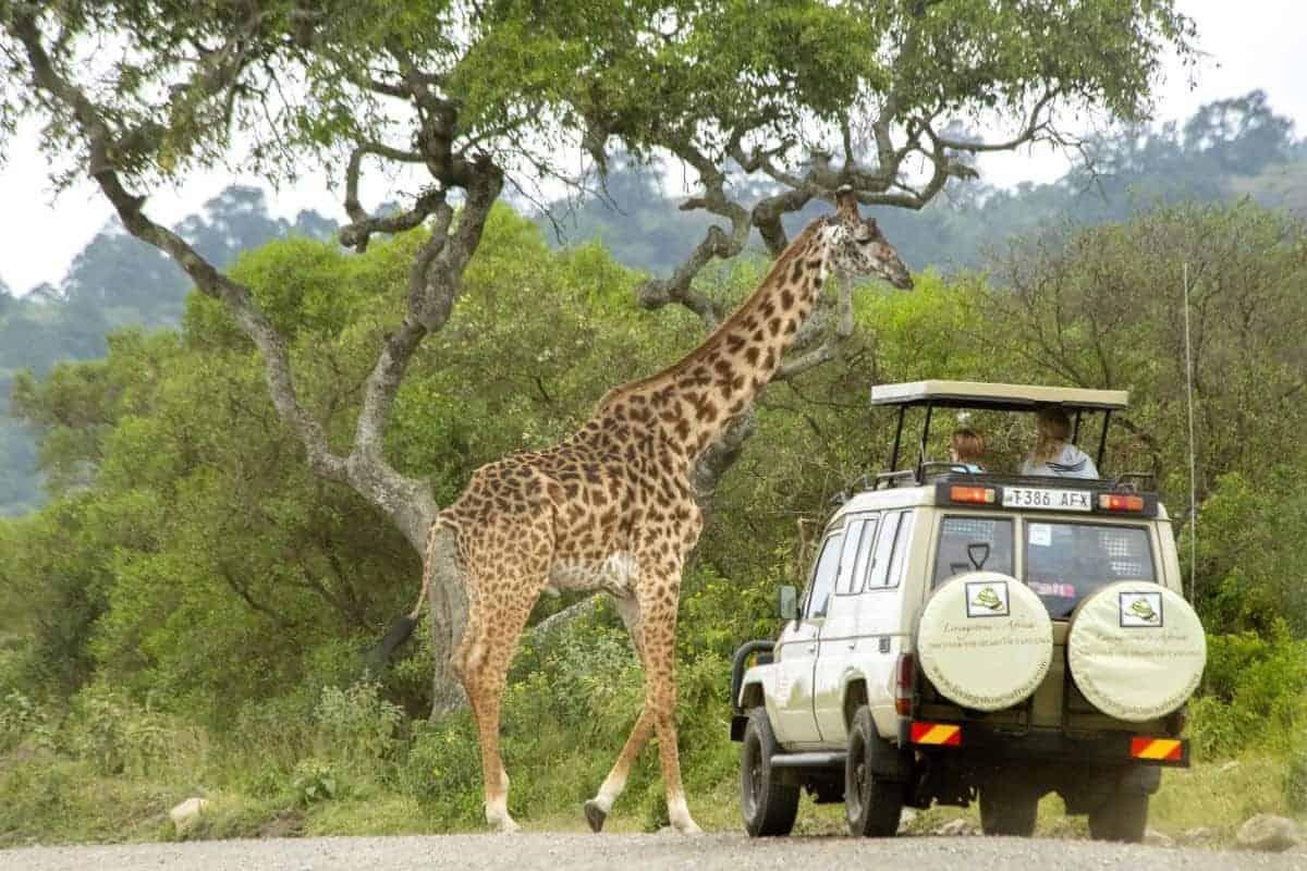 Giraffe loopt vlak voor jeep tijdens fotoreis Tanzania