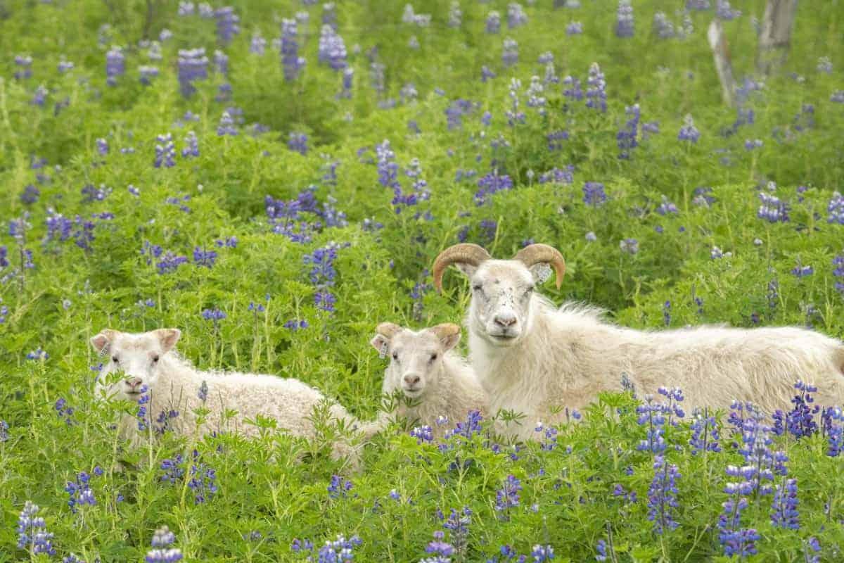 Hvitserkur geiten- fotoreizen IJsland