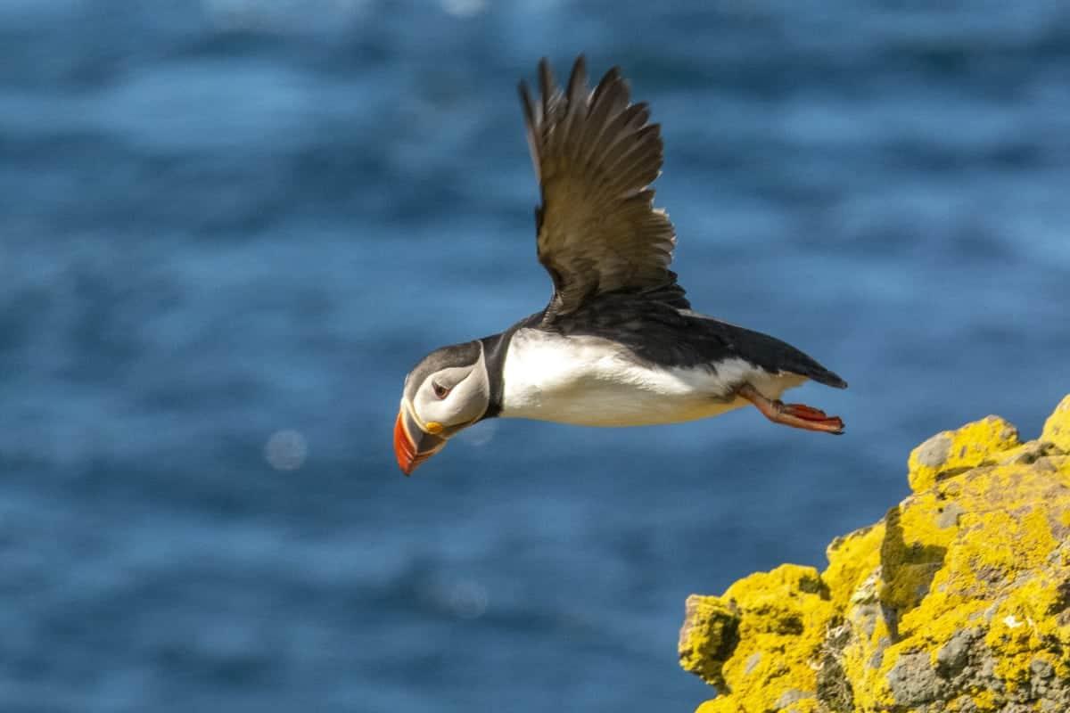 Latrabjarg vliegende puffins - fotoreis IJsland