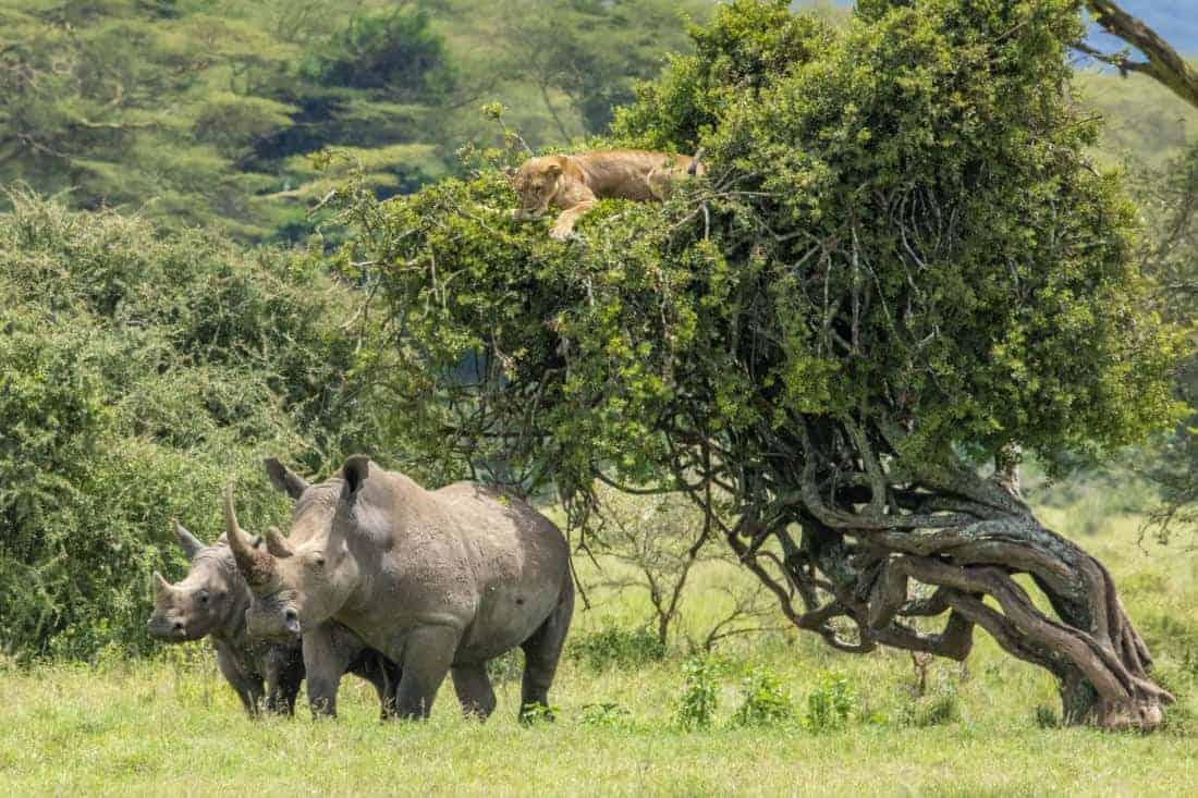 Kenia - Tanzania - Leeuw op boom met neushoorns eronder