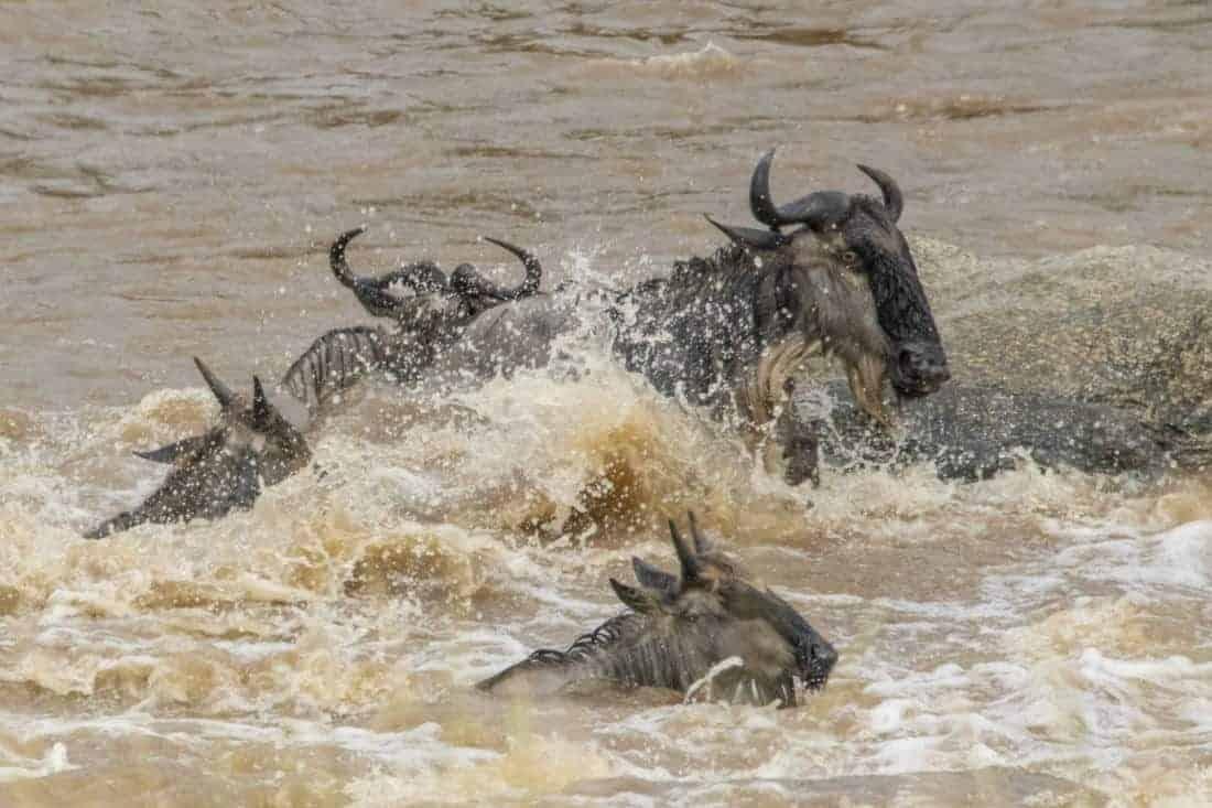 Gnoes tijden de rivercrossing Kenia Tanzania