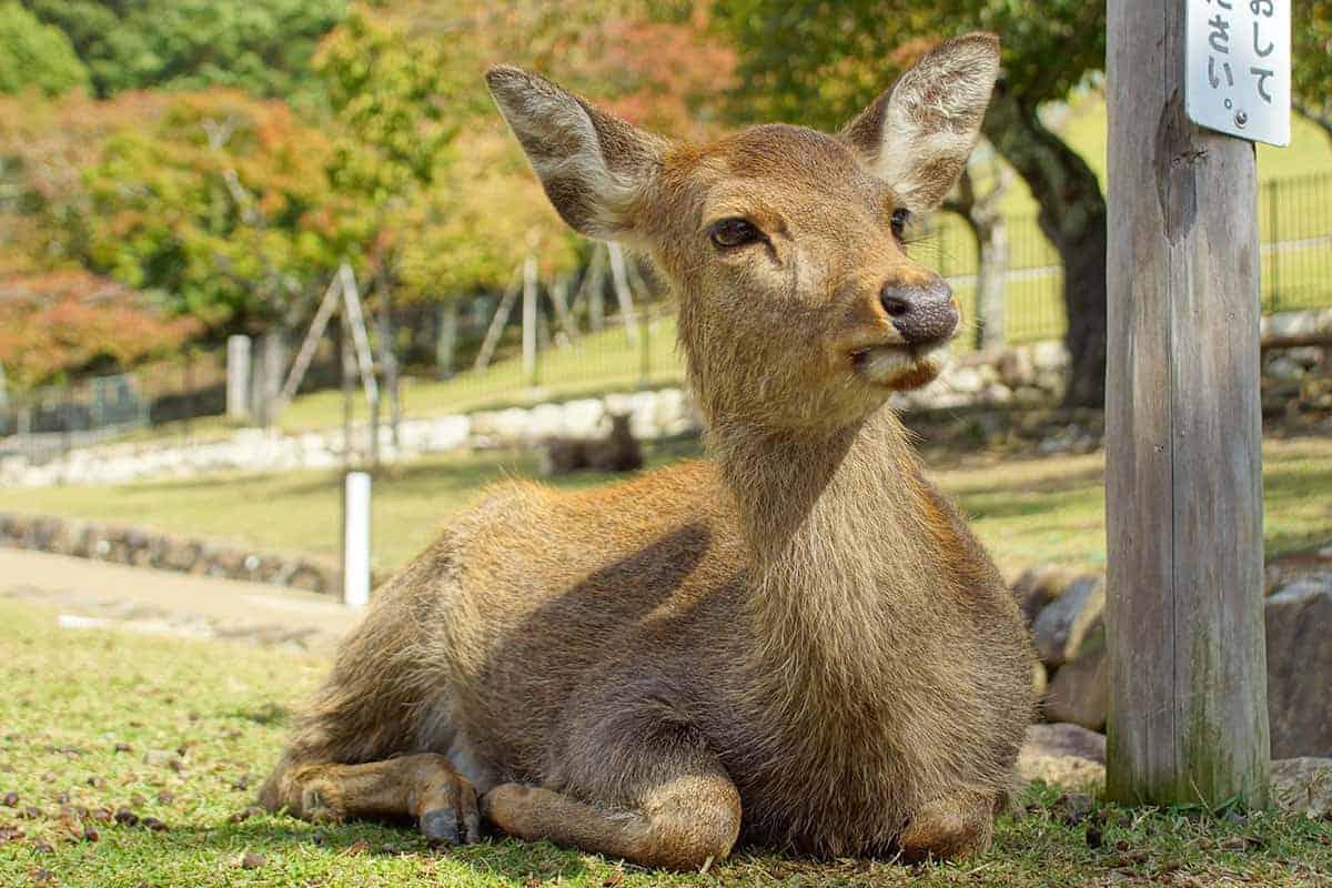 Sikaherten in Nara