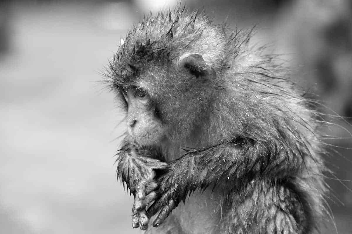 Yudanaka Fotories Japan zwart wit aap